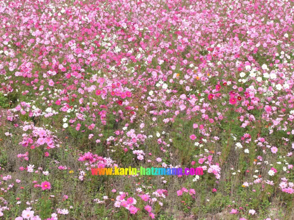 pink blossoms on a field